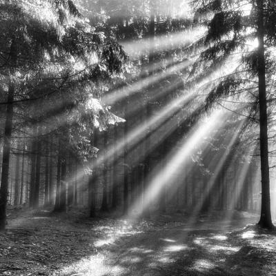 00039 Forest In The Morning Bw